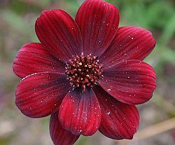 Schokoladenblume. Foto: gumdropgas/Flickr
